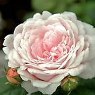 Pink Rachis Rose by photolodico