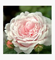 Pink Rachis Rose Photographic Print