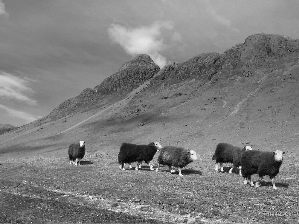 Herdwick sheep in Langdale by mikebov