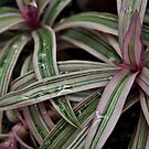 Pink and Green Striped Spider Plant with Water Droplets by photolodico