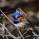 Blue-Breasted Fairy Wren by Rick Playle