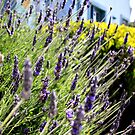 Lavender by the Sea by photolodico
