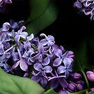 Lilac Chiaroscuro  by photolodico