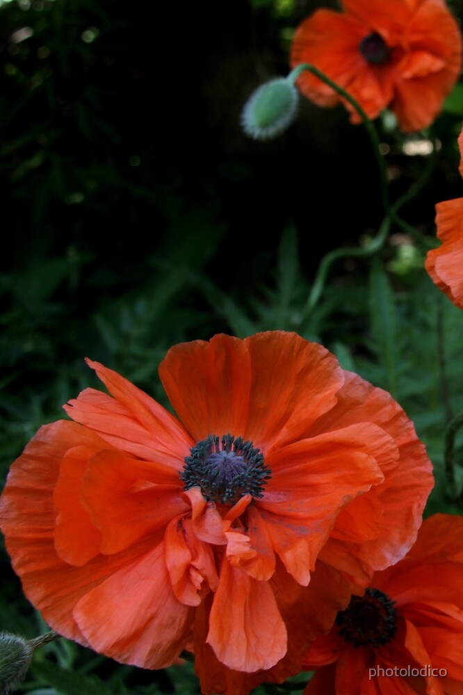 Orange Poppy Magic by photolodico