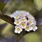 Tree Blossoms by photolodico