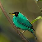 Green Honeycreeper - Costa Rica by Jim Cumming