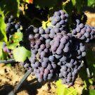 August Grapes by jean-louis bouzou
