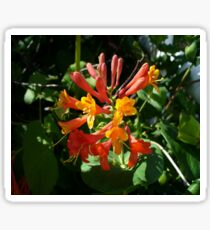Orange Flowers of Woodbine HoneySuckle Sticker