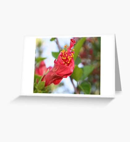 Curled Petals of A Red Hibiscus Bud Greeting Card