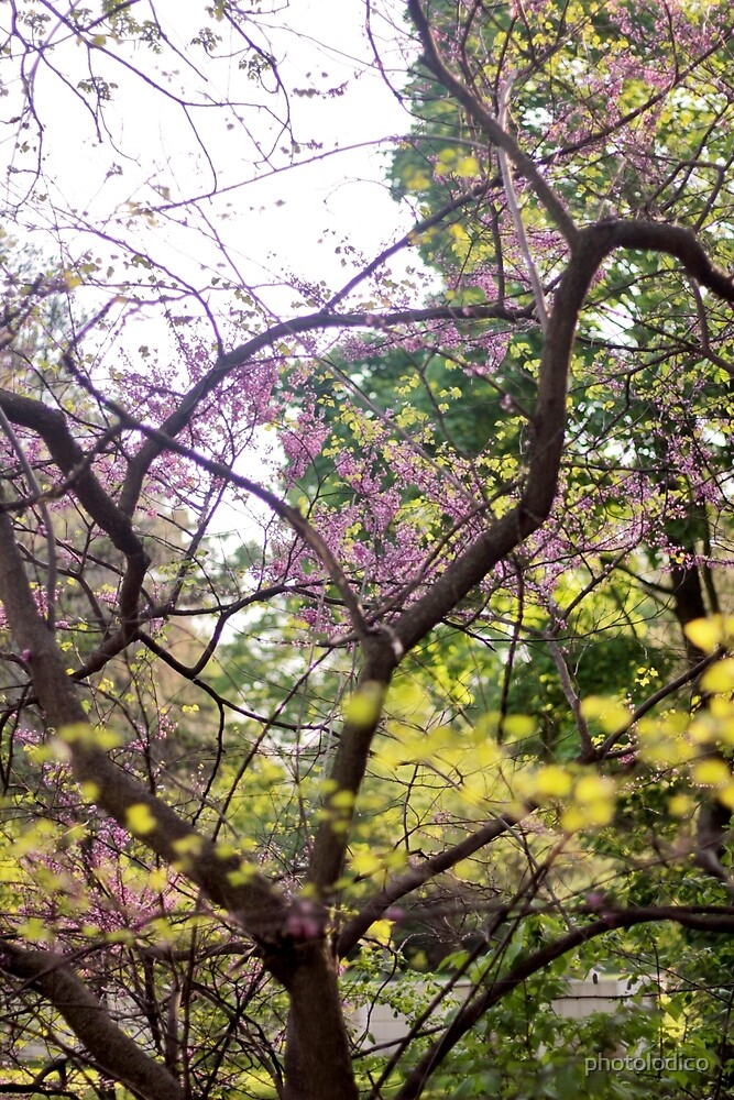 Red Bud Magic 3 by photolodico
