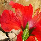 Back Of A Red Hibiscus Flower Against Stone by taiche