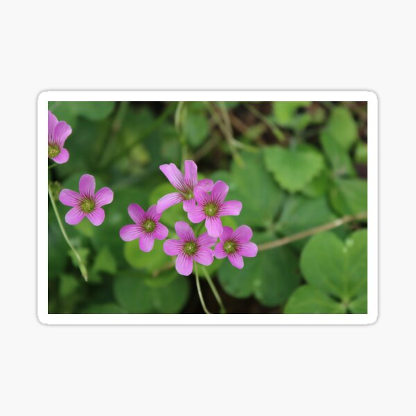 Purple Oxalis Flowers Sticker