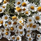 DAISIES ON THE SEAFRONT by Shoshonan