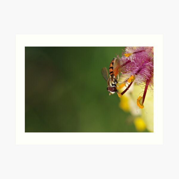 Hoverfly on Moth Mullein Art Print