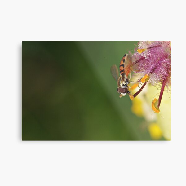 Hoverfly on Moth Mullein Metal Print