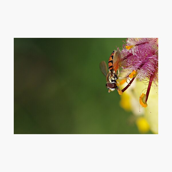 Hoverfly on Moth Mullein Photographic Print