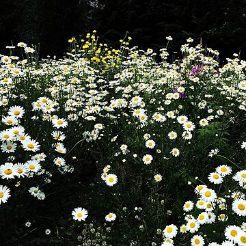 Daisies 2 by TinyTulsi