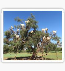 goats in trees Sticker