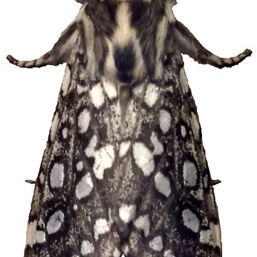 Lophocampa Argentata B by spookyluca
