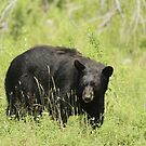 Black Bear in a pasture by Josef Pittner