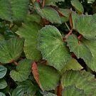 Lush Large Leaf Begonia  by photolodico