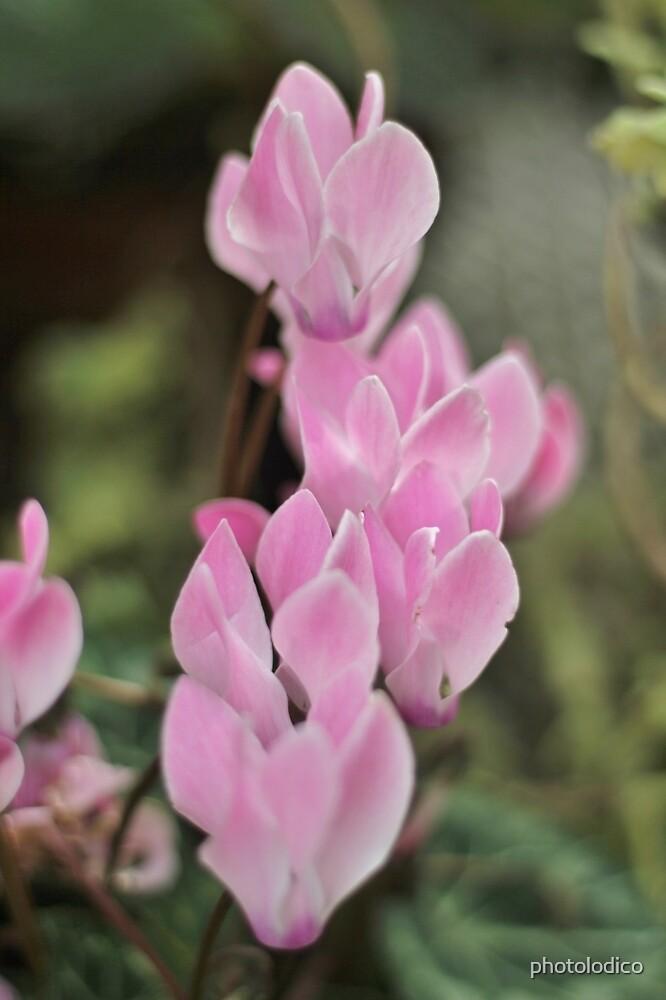 Pink Cyclamen Bokeh by photolodico