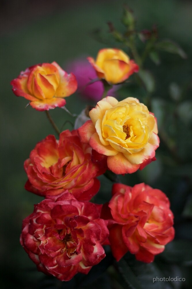Orangy Yellow Rose Cluster Chiaroscuro  by photolodico