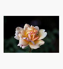 Lone Peach Rose Photographic Print