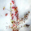 Winter Red Barberries by LouiseK
