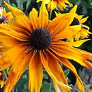 Rudbeckia from A Gardener's Notebook by Douglas E.  Welch