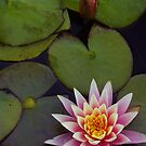 Pink Lilly by Larry Costales