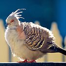 Australian Crested Pigeon. by johnrf