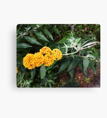 Orange Blossoms Canvas Print