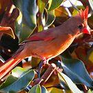 Male Cardinal by Caren