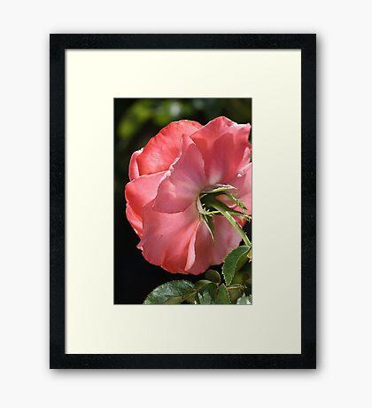 flower-rose from behind Framed Print