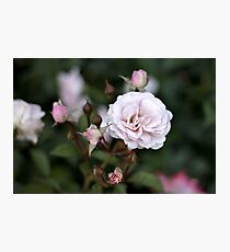 Pink Rose Blooms Photographic Print