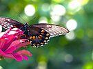 Spicebush Swallowtail by FrankieCat