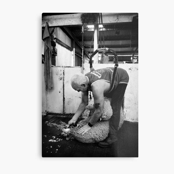 Shearing #12 ... Clifton Farm , Dumbleyung  Metal Print