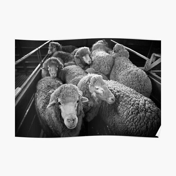 Shearing #20 ... Clifton Farm , Dumbleyung Poster