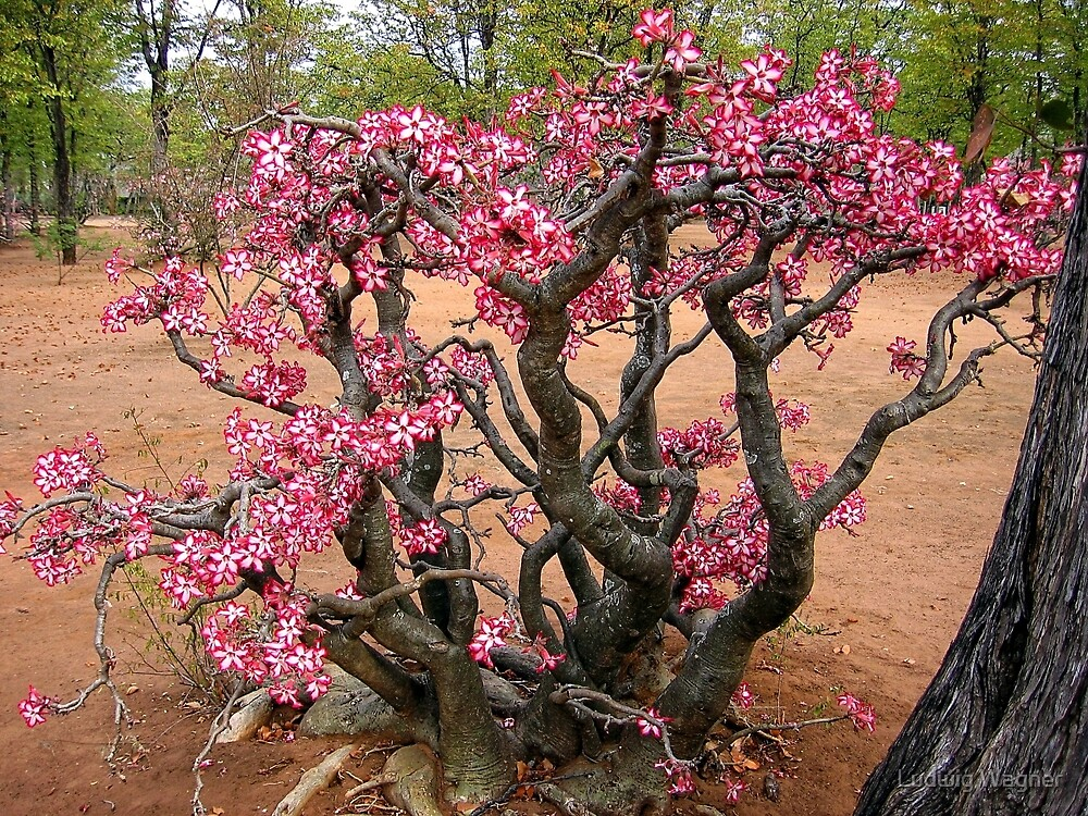 Quot Impala Lily Kruger National Park South Africa Quot By