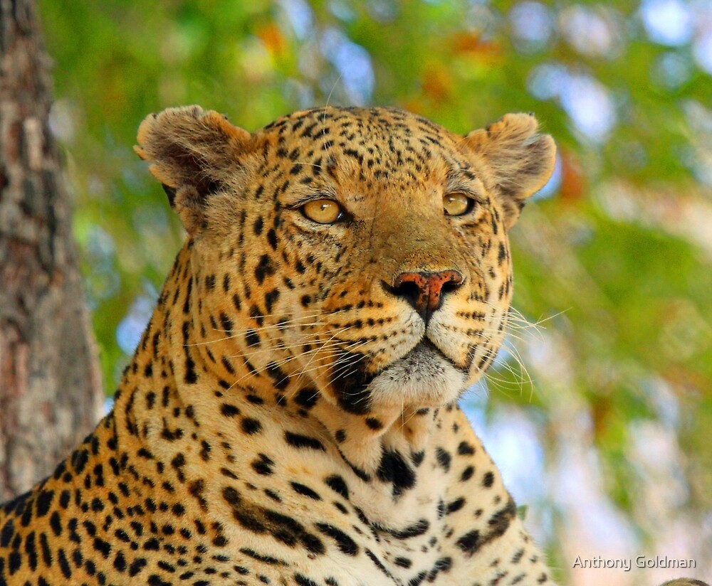 A delta leopard profile by Anthony Goldman