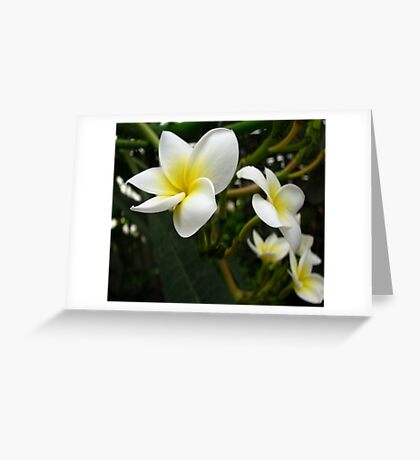 Closeup Frangipani with Natural Garden Background Greeting Card