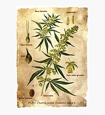Marihuana plant Photographic Print