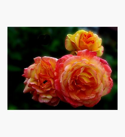 Radiant Roses Photographic Print