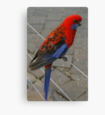 Crimson Rosella portrait Canvas Print