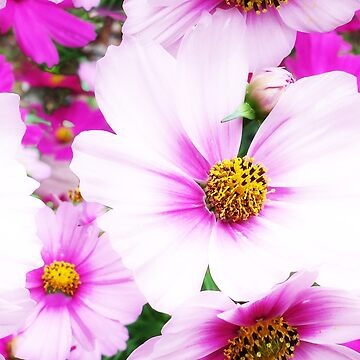 Cosmos are so Pretty by KandisGphotos