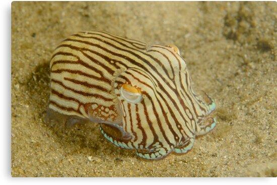 dd4361e8a1 Striped Pyjama Squid - Sepioloidea lineolata