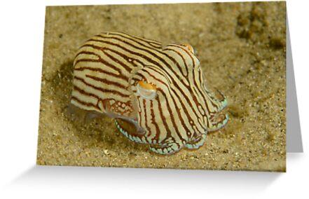 c5c48b6984 Striped Pyjama Squid - Sepioloidea lineolata