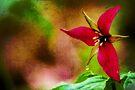 Ohio Wild Trillium  by thatstickerguy