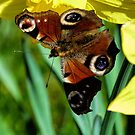 Daffodil with Peacock Butterfly by Lynn Bolt